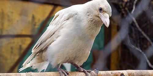 Приснилась белая ворона
