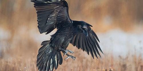 Летящая ворона
