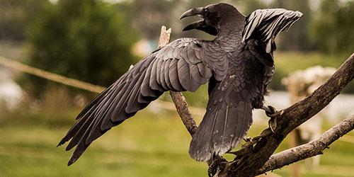Нападающая ворона