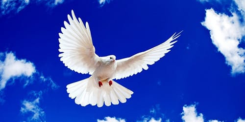 сонник голубь