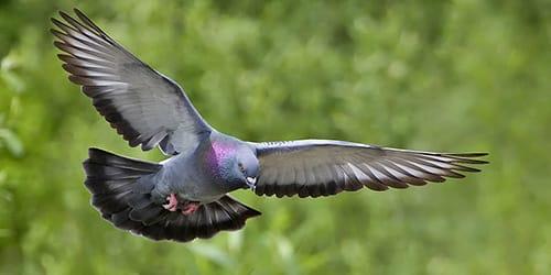 к чему снится голубь