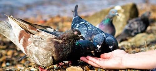 кормить голубей