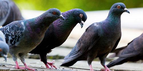 видеть во сне голубей