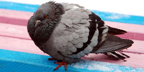 приснился больной голубь