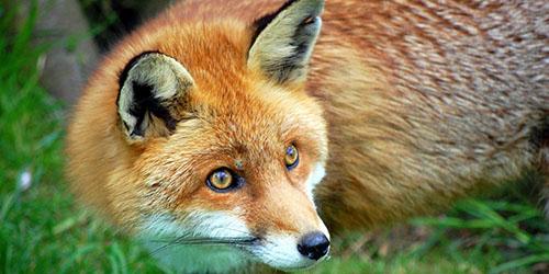 к чему снится лиса в доме