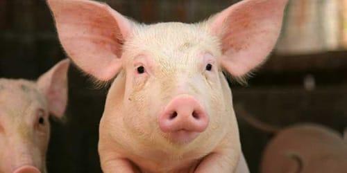 сонник свинья