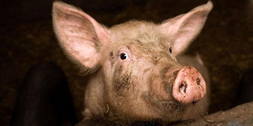 видеть свинью во сне