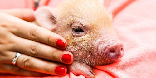 приснилось дарить свинью