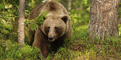 увидеть во сне медведя