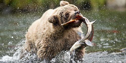 к чему снится медведь на реке