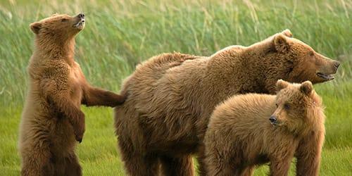 к чему снится медведь с медвежатами