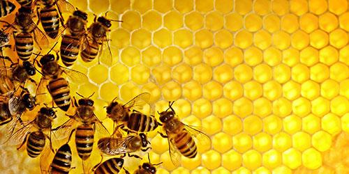 приснились пчелы на сотах