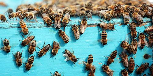 Сонник пчелы к чему снятся пчелы во сне