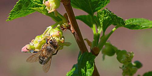 пчела на кустарнике