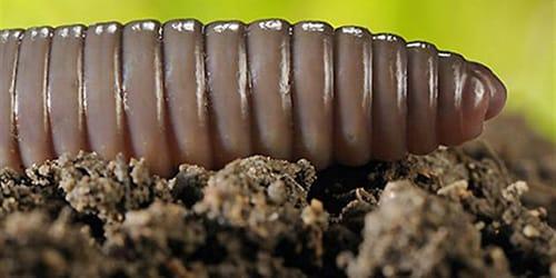 большие черви
