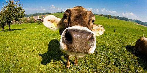 видеть во сне корову