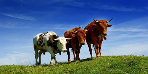 к чему снятся коровы на лугу