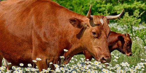 рыжая корова