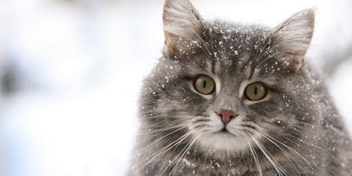 Сонник домашний кот