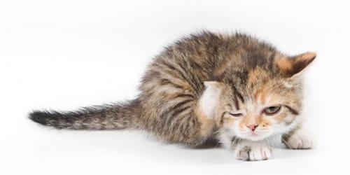 блохастый котенок