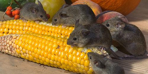 приснилось много мышей
