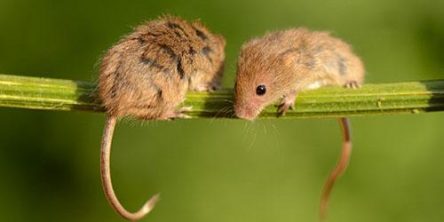 увидеть во сне мышей