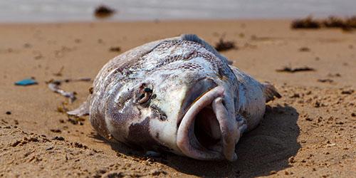 дохлая рыба