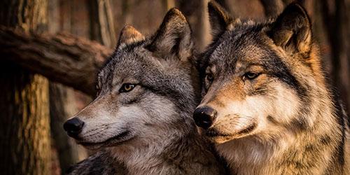 увидеть во сне волков