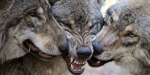 Фото Сонник волк загрыз собаку