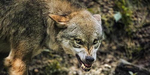 приснился агрессивный волк