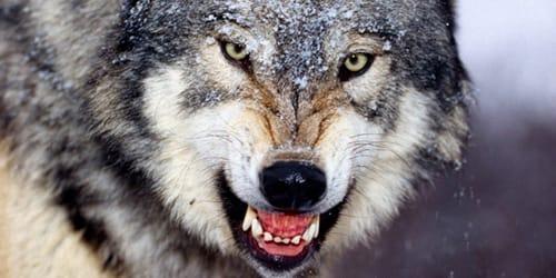 волки кусают