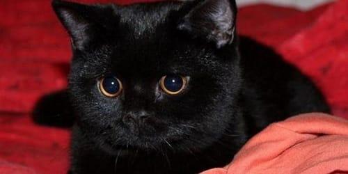 К чему снится темный кот фото