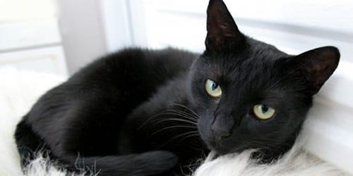 сонник черный кот