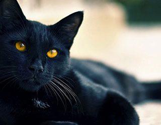 К чему снится черный кот?