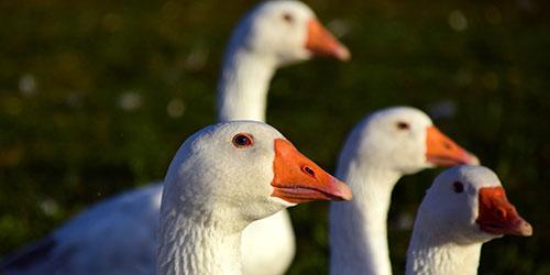 много гусей