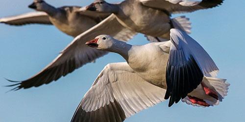 к чему снятся летящие гуси