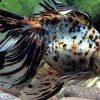 сонник живая рыба