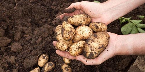 Копать картошку во сне