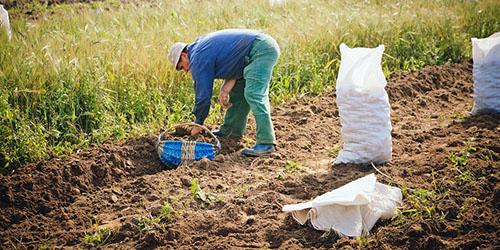 К чему снится копать крупную картошку