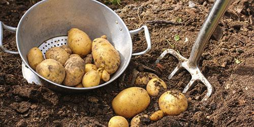 Приснилось копать картошку
