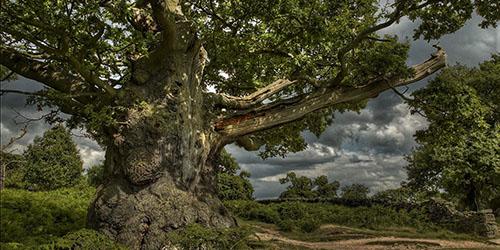 Приснился дубовый лес