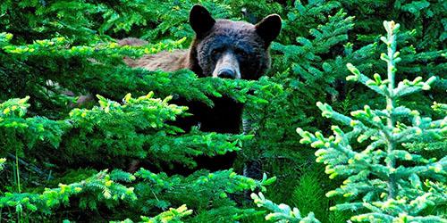 Встретить зверя в лесу
