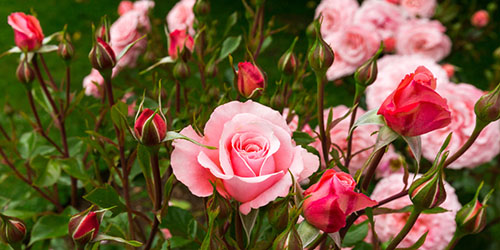 к чему снятся розы в саду