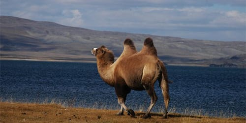 сонник верблюд