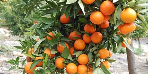 мандарины на ветке