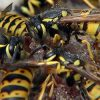 сонник осы
