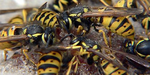 Сонник осы к чему снятся осы во сне