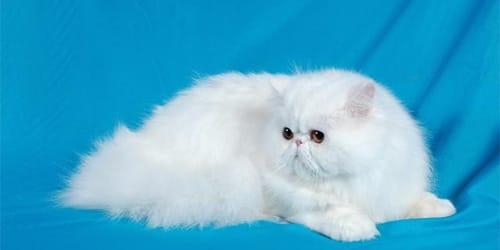 сонник белая кошка