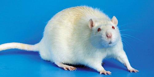 агрессивная белая крыса