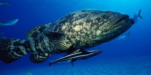 сонник большая рыба